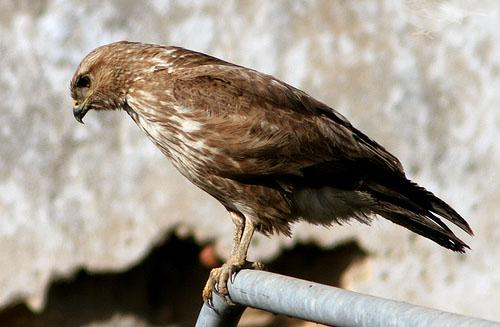 фото птица канюк